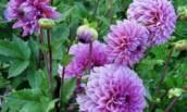 Дачные цветы, которые любили выращивать наши Бабушки, а мы почему то их сейчас Забыли