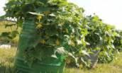 Выращиваем огурцы в бочке, урожай получаем в мае.