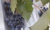 Обламывание винограда в апреле: зачем оно нужно, и что это дает