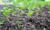 Как посадить морковь, чтобы всходы появились через 5 дней и не пришлось прореживать.