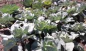 Необычный способ выращивания капусты. Ни разу еще не подвел