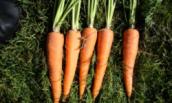 Как я воюю с морковной мухой, скрывая от нее запах моркови (и не только)