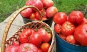 Какие сорта неприхотливых, сочных томатов можно высевать на рассаду в начале апреля и получить ранний урожай