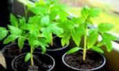 Подкормка рассады от которой ваши растения будут крепкие всего за 3 рубля.